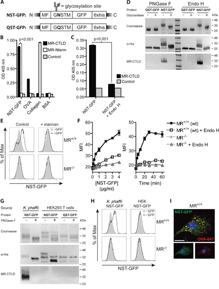 Introduction of an artificial N-glycosylation site in GFP and expression in K. phaffii results in binding and endocytosis by the MR.