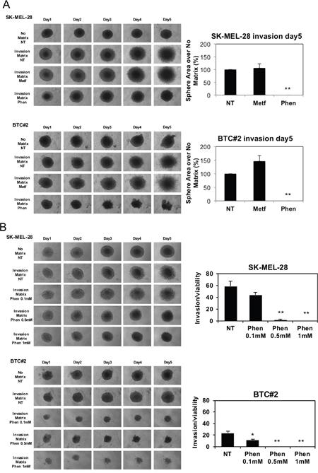 Phenformin, but not metformin, reduces melanoma spheroids invasion.