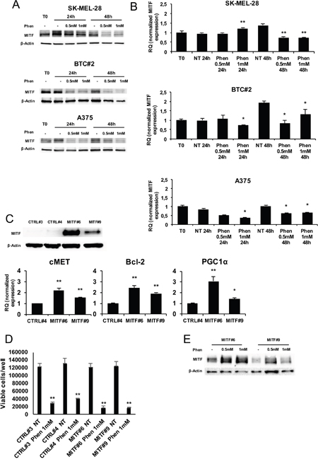 MITF is not protective against phenformin in melanoma cells.