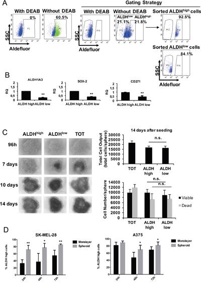 ALDHhigh melanoma cells behavior in 2D vs 3D cell culture models.