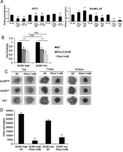 Phenformin targets both ALDHhigh (CSC) and ALDHlow (non-CSC) melanoma cells.