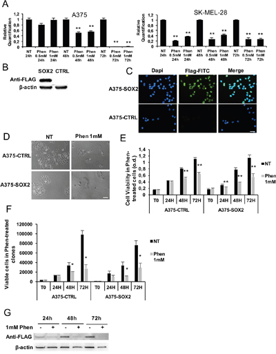 SOX2 overexpression in melanoma is not protective against phenformin.