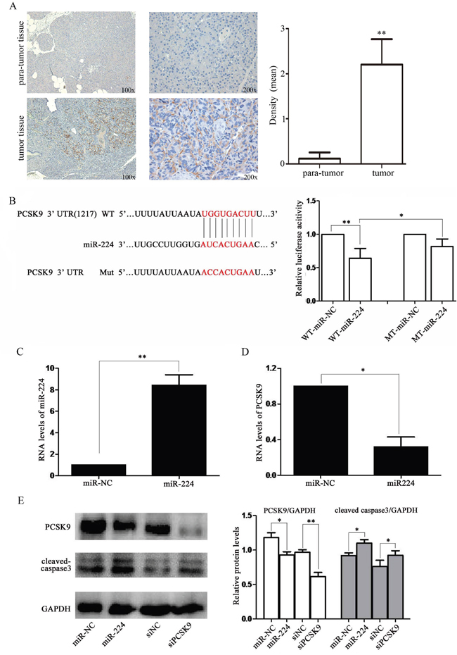 miR-224 down-regulates PCSK9 expression by directly targeting its 3′-UTR.