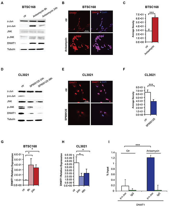 c-Jun phosphorylation regulates DNMT1 expression by promoter binding.