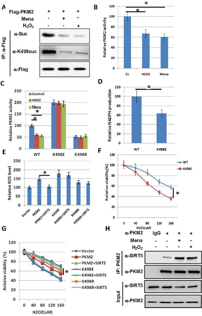 Succinylation at K498 of PKM2 sensitizes cells to oxidative damage.