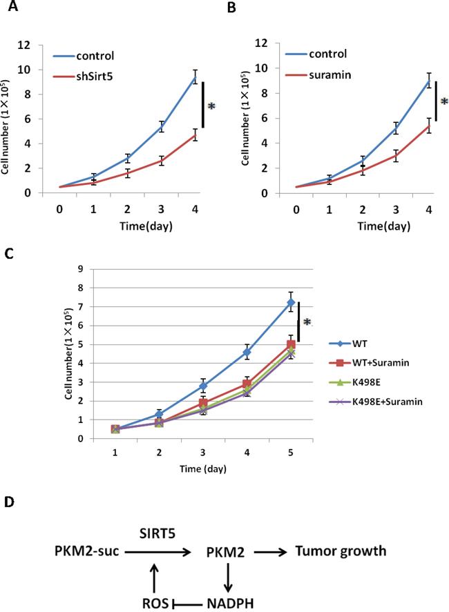 Inhibition of Sirt5 suppresses tumor cell proliferation through desuccinylation of PKM2 K498.