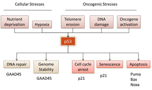 Tumour suppressor p53 regulates numerous cell responses.