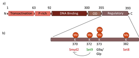 Functional domains of p53.