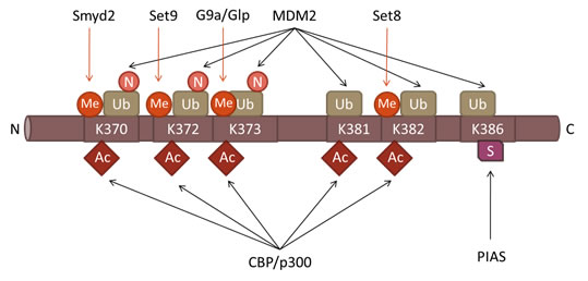 Post-translational modifications in the Carboxyl-terminal Domain of p53.