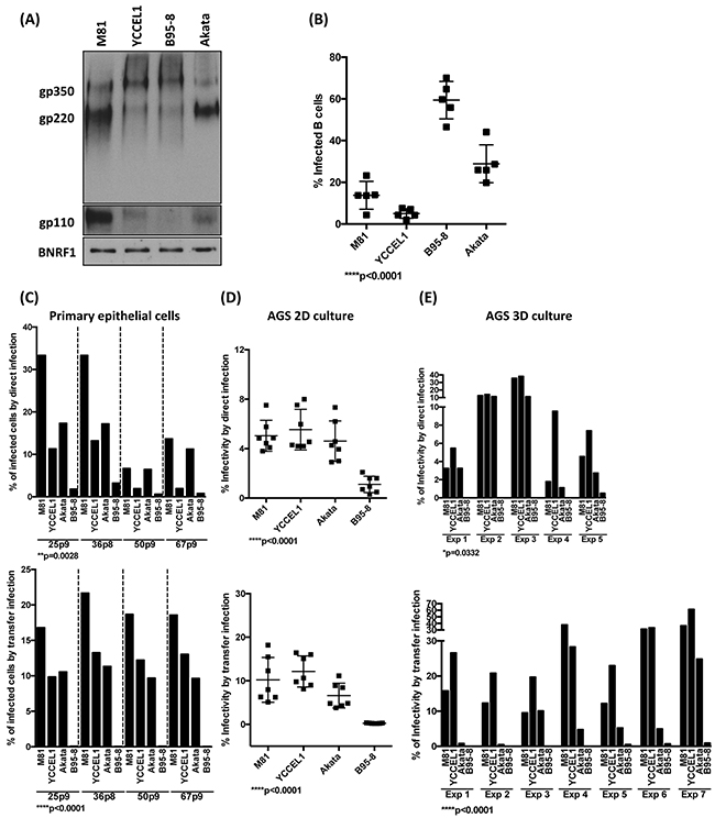 The level of gp110 within EBV viral particles partially regulates the viral tropisms toward its hosts.
