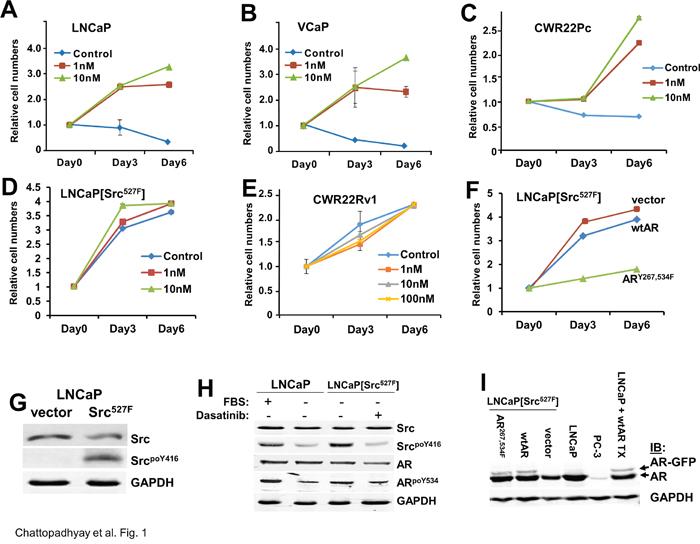 Src-induced androgen-independent growth requires AR tyrosine phosphorylation.