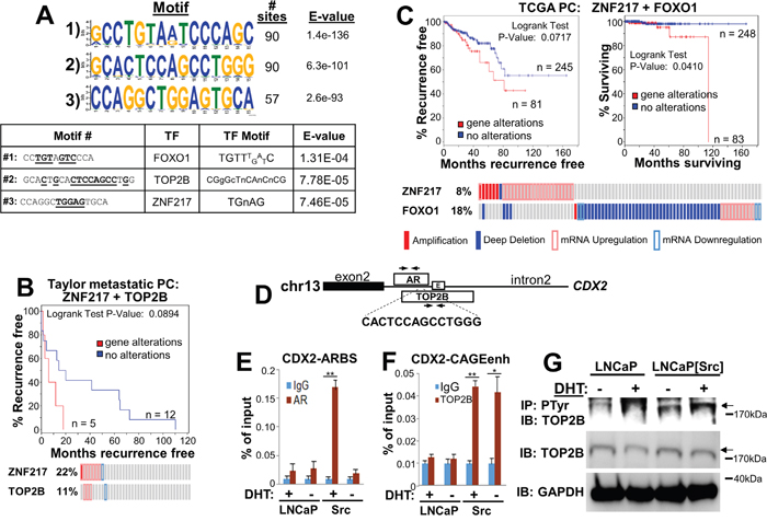 Src induces non-canonical ARBS that likely interact with CRPC-promoting transcription factors.