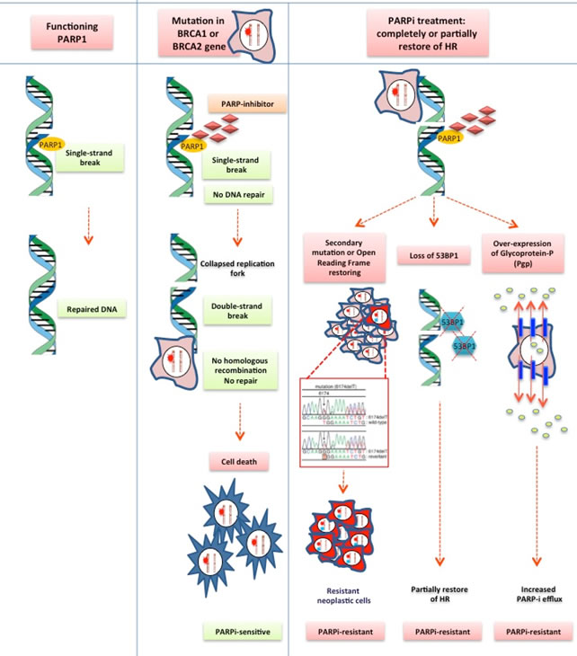 PARP inhibitor acquired resistance mechanism.