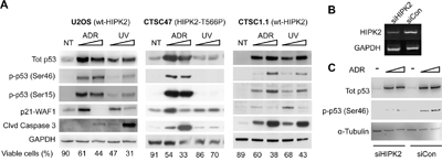 Endogenous HIPK2 (WT vs. T566P) response to ADR and UV.