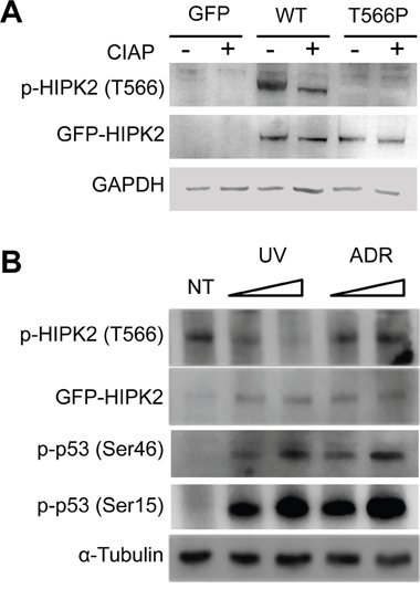 HIPK2-T566 phosphorylation analysis.