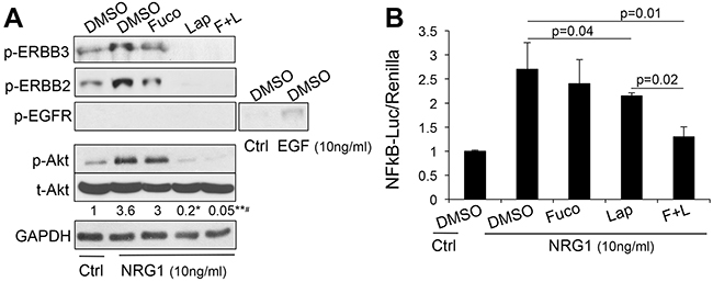The combination lapatinib-fucoidan enhances the inhibition of AKT and NFκB.