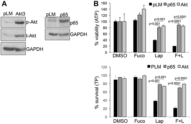 Over-expression of activated AKT and p65-NFκB rescues cell viability and survival.