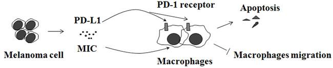 Melanoma inhibits macrophages.