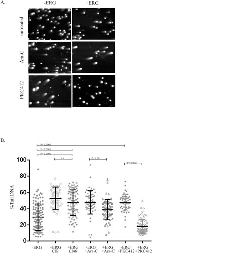 ERG-induced cells result in increased genomic instability and enhanced DNA repair in the presence of Ara-C and PKC412.