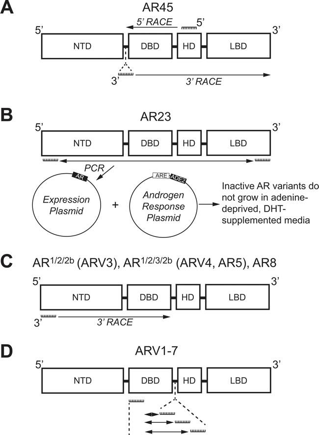 Methologies used to identify androgen receptor splice variants AR45, AR23, AR