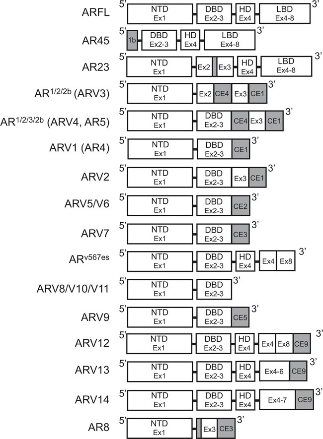 Structure of androgen receptor splice variants.