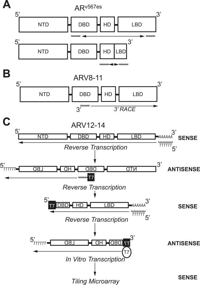 Molecular biology methods used to identify androgen receptor splice variants AR