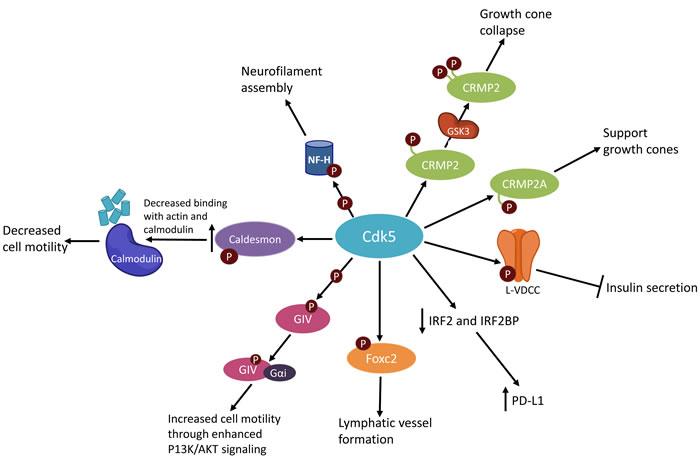 Simplified schematic of CDK5 activities.