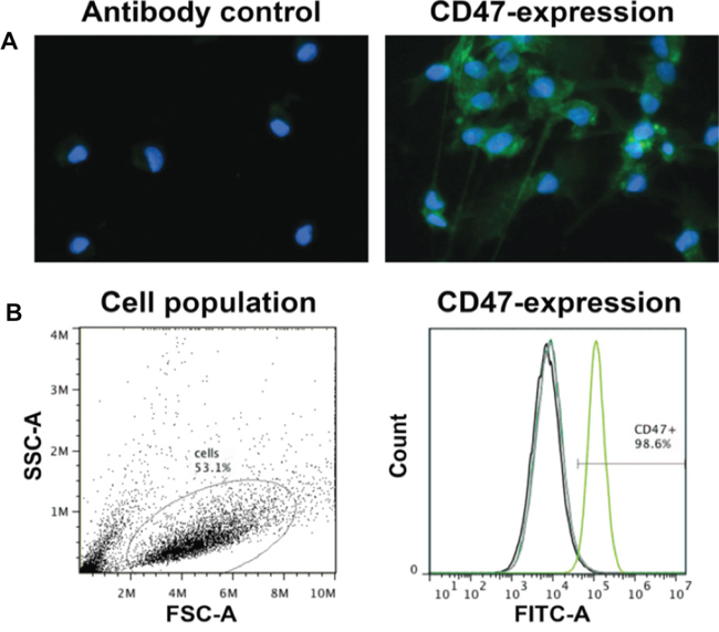 P3 GBM cells uniformly express high levels of CD47.