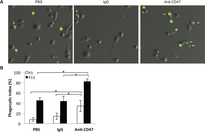 Nude rat bone marrow derived macrophages efficiently phagocytose P3 and P13 GBM tumor cells in an in vitro assay.