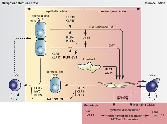 Fig 5: Overview of transitions between cell states and associated actions or counteractions by