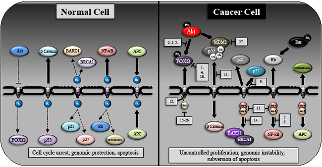 The subcellular distribution of oncogenes and tumor suppressors in normal cells and their redistribution following transformation.