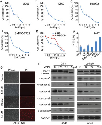 Induction of apoptosis in cancer cells by ZnPT.