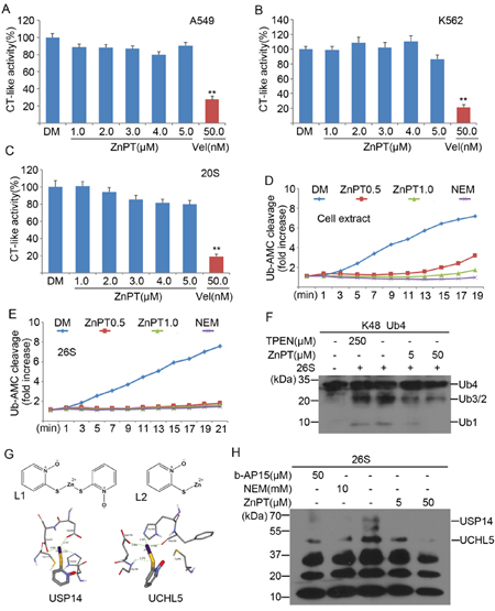 ZnPT inhibits the UPS by targeting 26S-associated DUBs USP14 and UCHL5.
