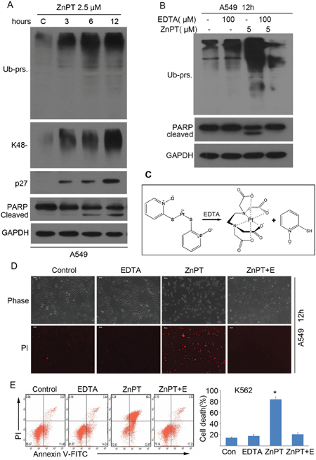 Proteasome inhibition is required for ZnPT to induce apoptosis.