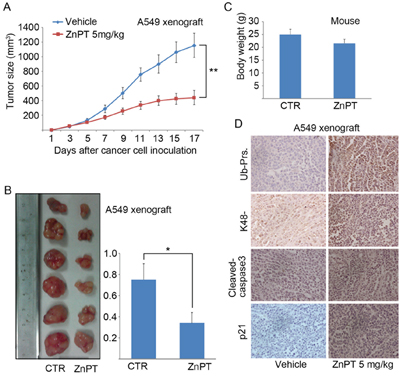 ZnPT inhibits tumor growth and proteasome function in vivo.