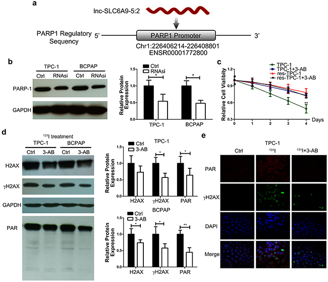 SLC6A9 is positively correlated with PARP-1 expression, and PARP-1 inhibition restored the 131I tolerance of thyroid cancer cells.