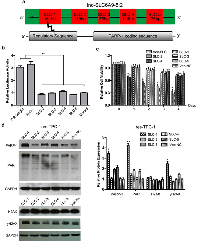 Fragment 1 of SLC6A9 (SLC6A9-1) regulates PARP-1 expression and activity.