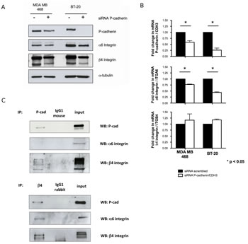 P-cadherin controls the expression of α6β4 integrin heterodimer in basal-like breast cancer cell lines.