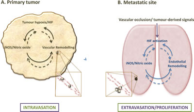 Endothelial HIF/NO-mediated regulation of metastases at primary tumor and metastatic sites.