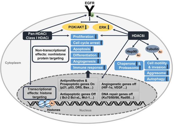 Antitumoral activity of HDAC inhibitors