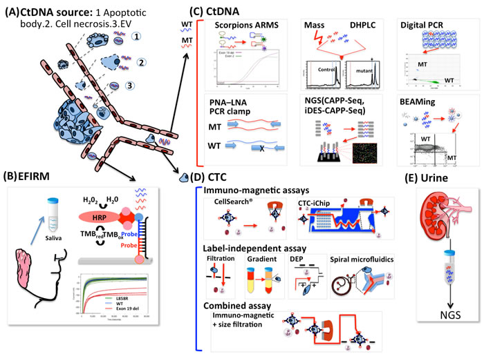 Sources of ctDNA and different platforms for detecting EGFR mutations in patients with lung cancer.