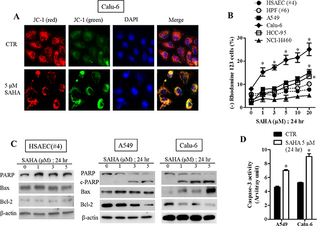 Effects of SAHA on mitochondrial membrane potential, apoptosis-related protein levels and caspase-3 activities in normal lung and cancer cells.