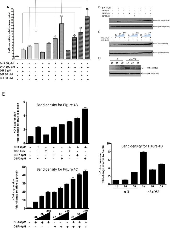 DSF enhances DHA-induced HO-1 gene transcription.