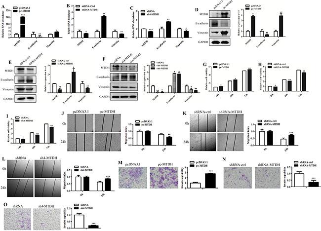 MTDH promotes glioma cells EMT-like change and invasion.