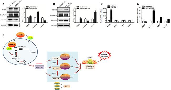 MiR-130b-ceRNAs mediates EMT-like process induced by MTDH in glioma cells.