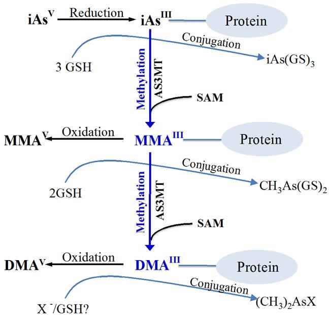 Proposed Arsenic Metabolism Pathway in Human.