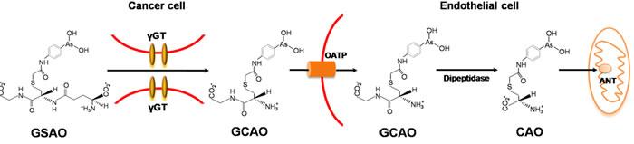 Molecular mechanism of GSAO.