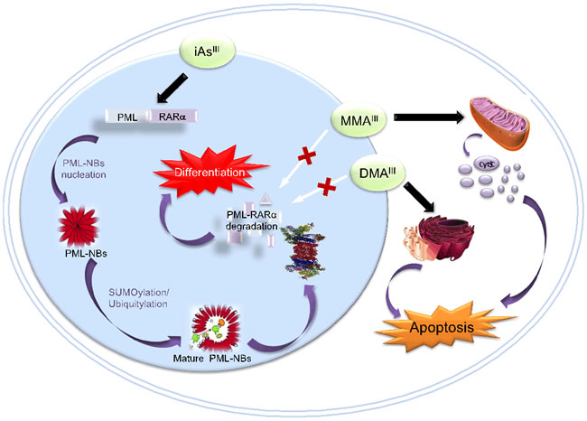 Molecular Mechanisms of iAs