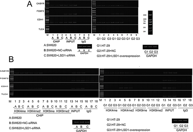 Effect of LSD1 on H3K4me1/2 and H3K9m1/2 methylations at the promoters of indicated genes.