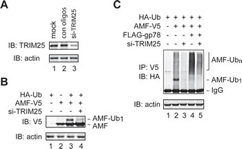 TRIM25 is required for initial ubiquitylation of AMF.